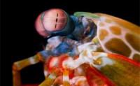 Descubren un camarón con visión ultravioleta
