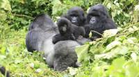 El gorila de montaña, en peligro de extinción
