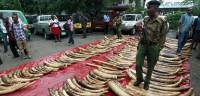 Kenia incauta 300 colmillos de elefante