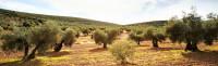 D. O. Aceite de Oliva Extra Montes de Toledo, un referente de calidad en el mercado mundial