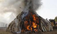 Kenia quema 15 toneladas de marfil en una ceremonia contra la caza furtiva