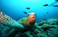 La tortuga verde marina, en peligro de extinción