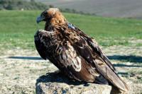 La población del águila imperial ibérica supera por primera vez las 100 parejas nidificantes