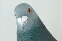 A los Ayuntamientos que gasean palomas