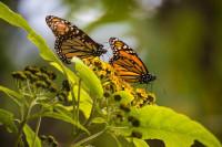 La mariposa que reina en Mexico