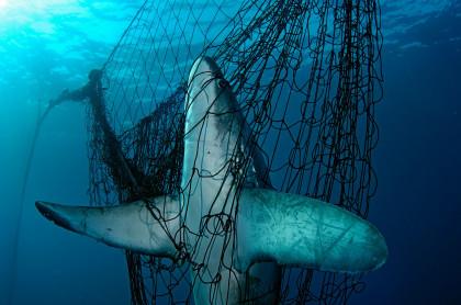 España es el mayor importador y exportador de tiburones y rayas de todo el Mediterráneo